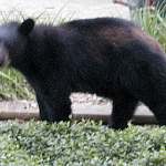 Bear spotted