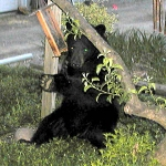 Bear spotted on New Road East evening of June 3, 2002
